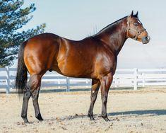 American Quarter Horse, Quarter Horses, Colored Pencil Artwork, Bay Horse, Barrel Horse, Horse World, Bays, Appaloosa, Horse Breeds