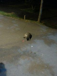 Tartarugas saíram do Guaíba na madrugada de bike...