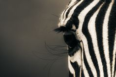Africa |  A close up portrait of a zebra. Image taken in the Serengeti National Park, Tanzania. | © Mario Moreno.