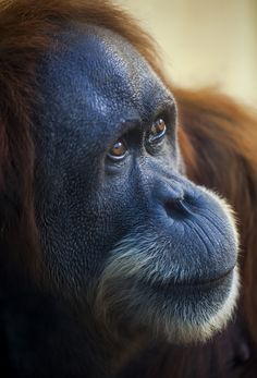 Orangutan - She looks a lot like Amanda :)