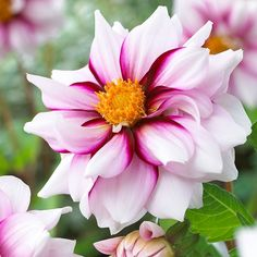 This dahlia has striking camellia-like blooms in an elegant swirl of white and purple. The Sale Price American Meadows 32 inches