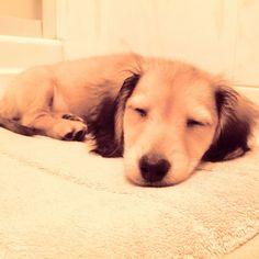 Long hair miniature dachshund, chai