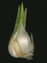 Growing garlic indoors is an excellent way to ensure fresh supply of this delicious and flavorsome spice in your kitchen. It is not only of culinary importance, but also of great medicinal value. In this article, you will get to know how to grow garlic indoors.