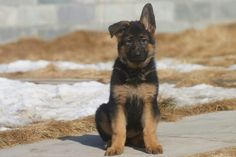 Why Is My German Shepherd Dog Whining Constantly? Baby German Shepherds, German Shepherd Puppies, Beautiful Dog Breeds, Beautiful Dogs, Call Me A Dog, Schaefer, Gsd Puppies, Large Dog Breeds, Belgian Malinois