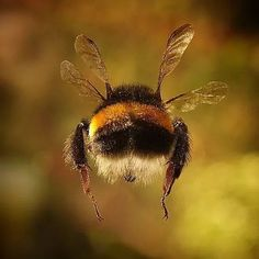 Prometheus: Furry bum of a Bumble Bee in flight. I love that 뒷태♡♡♡♡ Prometheus: Furry bum of a Bumble Bee in flight. I love that 뒷태♡♡♡♡ Beautiful Creatures, Animals Beautiful, Animals And Pets, Cute Animals, Wild Animals, Baby Animals, Funny Animals, Foto Macro, Buzzy Bee