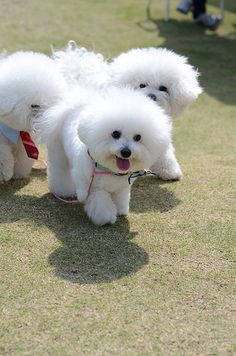 Bichon Frise Pooches More Cute Dogs Breeds, Puppy Breeds, Beautiful Dogs, Animals Beautiful, Poodle, Cute Puppies, Dogs And Puppies, Doggies, Bichon Dog