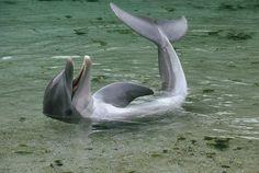 Bottlenose Dolphin Tursiops Truncatus Photograph  - Bottlenose Dolphin Tursiops Truncatus Fine Art Print