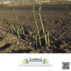 Espárrago verdes de Aranjuez