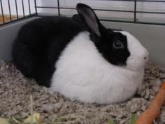Floppy is a black and white Dutch Rabbit.  She very much enjoys time outside her cage for exploring and hopping about.  As I get more details about her personality, I will add them.Rabbits require a fair amount of work to keep their cages clean, to...