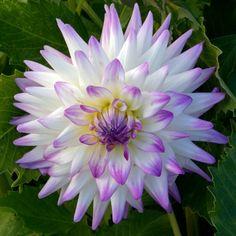 Jura Dahlia bush): creamy white petal with lavender tips; Dahlia Flower, Flower Petals, My Flower, Flower Power, Types Of Flowers, Cut Flowers, Beautiful Flowers, Growing Dahlias, Herbaceous Perennials