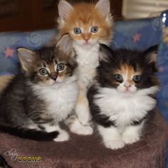 Maine Coon Cat Classy Coons is a registered cattery name with the Cat Fanciers Association. Puppies And Kitties, Cute Cats And Kittens, Baby Cats, I Love Cats, Cool Cats, Kittens Cutest, Funny Kittens, White Kittens, Pretty Cats