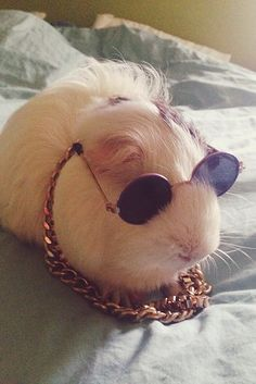 This guinea pig who might also be 2 Chainz. | The 24 Most Important Guinea Pigs In The Entire World