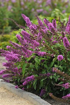 Monrovia's Flutterby Petite® Tutti Fruitti Pink Butterfly Bush details and information. Learn more about Monrovia plants and best practices for best possible plant performance. Garden Shrubs, Flowering Shrubs, Garden Landscaping, Garden Plants, Sun Garden, Landscaping Ideas, Dwarf Butterfly Bush, Butterfly Plants, Pink Butterfly
