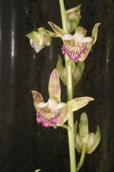 Orchid: Eulophia nuda