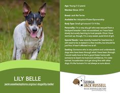 Today's l'il leprechaun rescue is Lily Belle! #jackrussell #ratterrier #jackrat #adoptable #rescue #foster