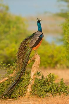 Indian Peafowl by Milan Zygmunt on 500px