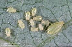 APHIDS: Almost every plant has one or more aphid species that occasionally feed on it, but low to moderate numbers of aphids usually aren't damaging to gardens or landscape trees. Find more information on controlling aphids from UC IPM