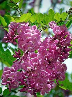 """Robinia hispida """"Macrophylla"""""""