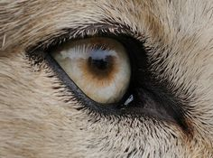 White Wolf: The incredibly detailed photos that reveal animal eyes in extreme close-up - wolf eye.