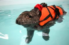 [I love her hare tie]. Ok, bad joke...  She swims for seven minutes at a time, twice a week. | Heidi The Rabbit Goes Swimming In A Lifejacket To Help With Her Arthritis