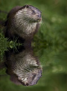 Otter Reflection by Paul Keates on 500px