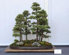 Bonsai-fir tree