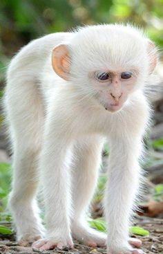 Albino White Monkey - Rare To See
