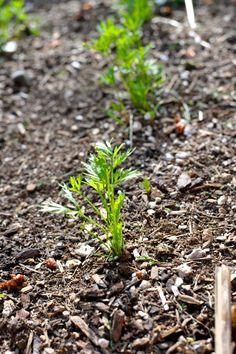 Edible Gardening 101: Preventing Poor Germination