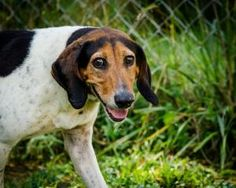 Dora is an adoptable Treeing Walker Coonhound Dog in Frankfort, KY. Dora was brought to the shelter as a stray. She was found walking in the county and was very malnourished. We named her Dora because...