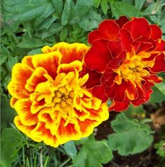 marigolds...I have so many of these seeds it is nuts!