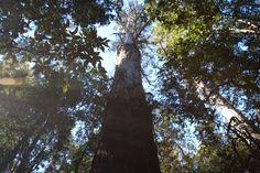 Tasmania - beautiful old forests