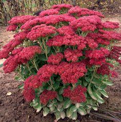 Roter Mauerpfeffer fetthenne mauerpfeffer autum suburban gardening
