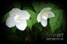 """""""Pretty Delicate White Flowers"""" by #Kay Novy   #flowers #floral #garden #nature   http://fineartamerica.com/featured/pretty-delicate-white-flowers-kay-novy.html"""