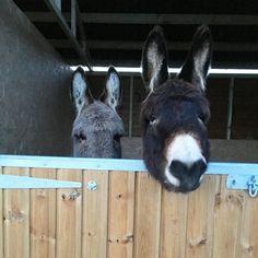 Meet our donkeys ! Bob and Gary (Gary is a bit shy !) #donkeyoftheday  #donkey #donkeylove