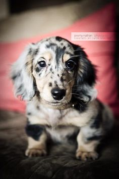 Long Haired Dapple Doxie Puppy - the perfect doxie addition to my little doggie family!!! :)