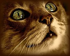 Feline Cat 8x10 Photography Sepia,eyes,gold,green,copper,kitty,tabby | VanillaExtinction - Photography on ArtFire