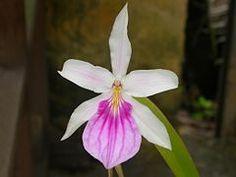 Miltonia spectabilis (em português: Miltônia) é um género botânico pertencente à família das orquídeas (Orchidaceæ). Foi proposto por John Lindley em Edwards's Botanical Register 23: t. 1976, em 1837, ao descrever a Miltonia spectabilis, sua espécie tipo.