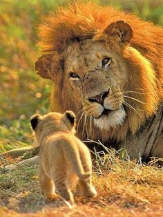 animals - lion and cub Animals And Pets, Baby Animals, Cute Animals, Beautiful Cats, Animals Beautiful, Big Cats, Cats And Kittens, Cats Meowing, Gato Grande