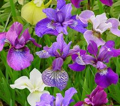 PLANT IN SPRING with other lillies and iris behind seating wall  Siberian Iris Breeder's Cup Mix