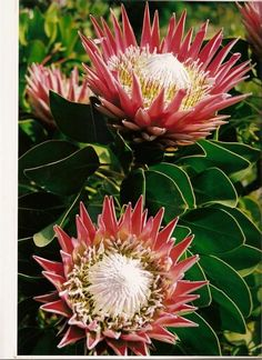 Protea [South-Africa] Protea Bouquet, Protea Flower, Protea Plant, Guava Tree, King Protea, Tropical Backyard, Forever Flowers, Plant Painting, Hanging Plants