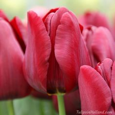Keep your eyes open with Tulip Mascara #travel to the #tulipsinholland spring 2017