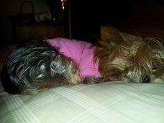 princess teacup ..the (barely ) 3lb.York sul king bc her mommy at a sleepover...