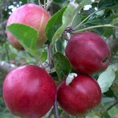 Gladstone early worcestershire apple