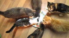 An adorable and very eager group of cats who are accustomed to getting a daily treat of tuna, attempt to eat the invisible goody from an empty plate. According to Jordan Randomness, the human belon...
