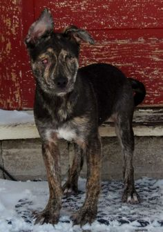 Bella - Dutch Shepherd & Retriever Mix • Baby • Female • Medium - Safe Hands Animal Rescue Minneapolis, MN Bella is a sweet girl with a fearless personality. Bella was born blind but it has not stopped her from doing anything. She loves to play with the other resident dogs in the home. She has no problem navigating around the house and if you watched her move about, you wouldn't realize she is blind. She is paper trained and is doing well with that while we work on house training...