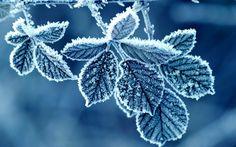 Листья, иней, узор, мороз, роза, утро,, зима