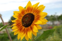 How to dry sunflowers from flowers that look like sunflowers, source:garden Growing Sunflowers From Seed, Sunflowers And Daisies, Dwarf Sunflowers, Sunflower Crafts, Sunflower Garden, Garden Great Ideas, Sunflower Pictures, Pretty Flowers, Sun Flowers
