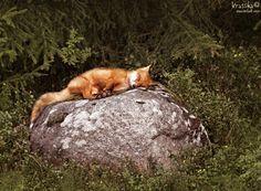 Fox by Krasska