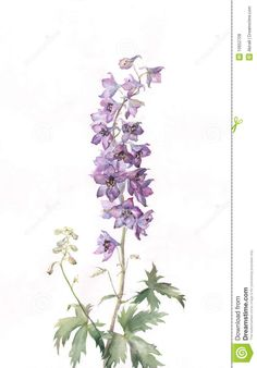 Delphinium Watercolor Painting - Download From Over 27 Million High Quality Stock Photos, Images, Vectors. Sign up for FREE today. Image: 10652708