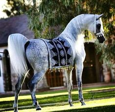 Grey Arabian horse More